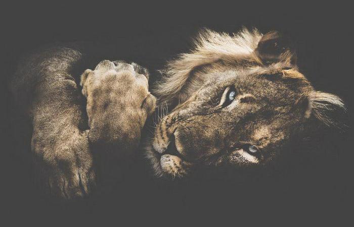 Царь зверей. Автор: Donal Boyd.