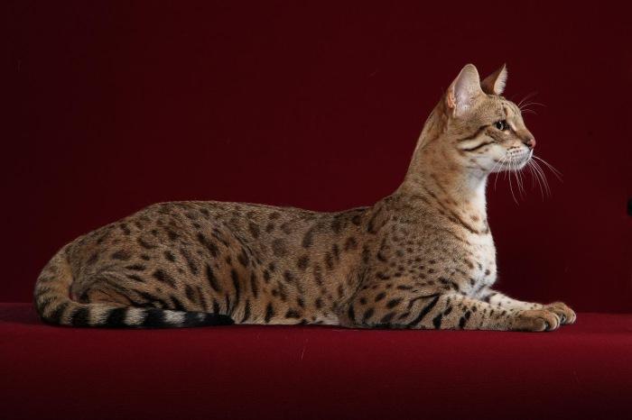 Экзотическая кошка ашера. \ Фото: iohotnik.ru.