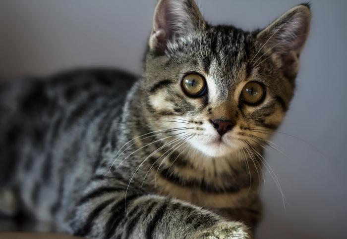 Американская жесткошерстная кошка. \ Фото: catspaw.ru.
