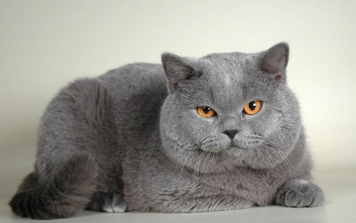 Британская короткошерстная кошка. \ Фото: zverivdom.com.