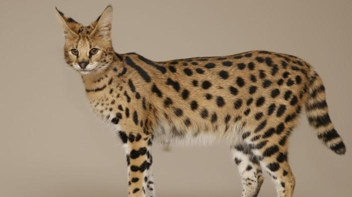 Великолепная кошка саванна. \ Фото: petadvisor.in.ua.