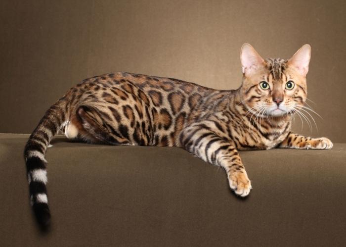 Бенгальская кошка. \ Фото: petstime.ru.