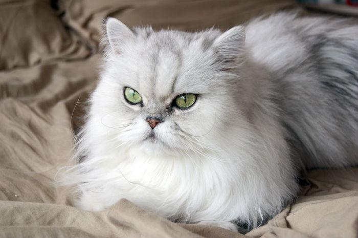 Персидская кошка. \ Фото: google.ru.