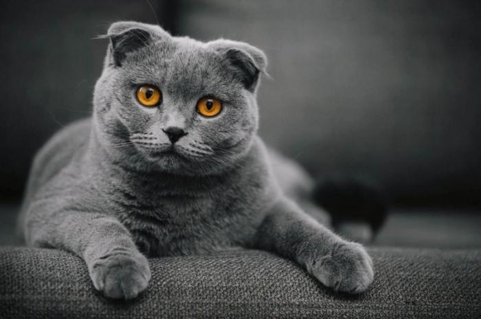 Шотландская вислоухая кошка. \ Фото: hochyvseznat.ru.