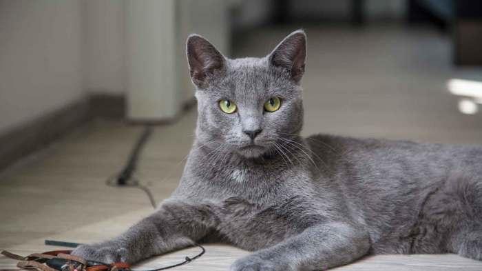 Русская голубая кошка. \ Фото: animaljournal.ru.