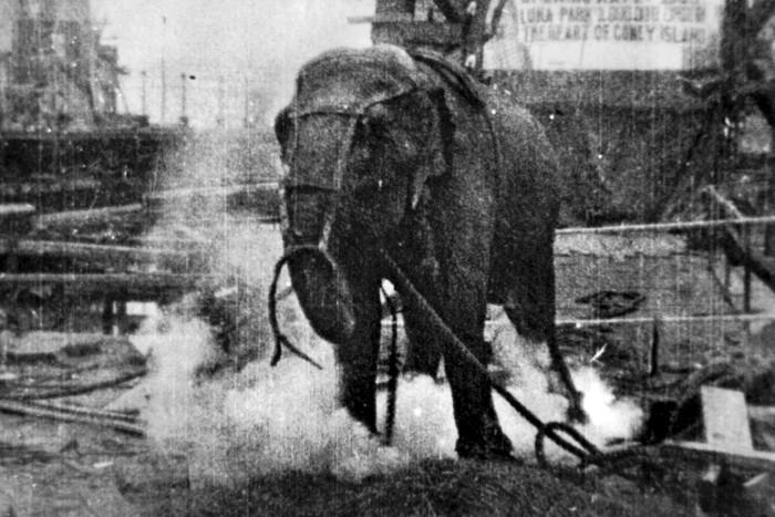 Слониха Топси. \ Фото: pt.wikipedia.org.