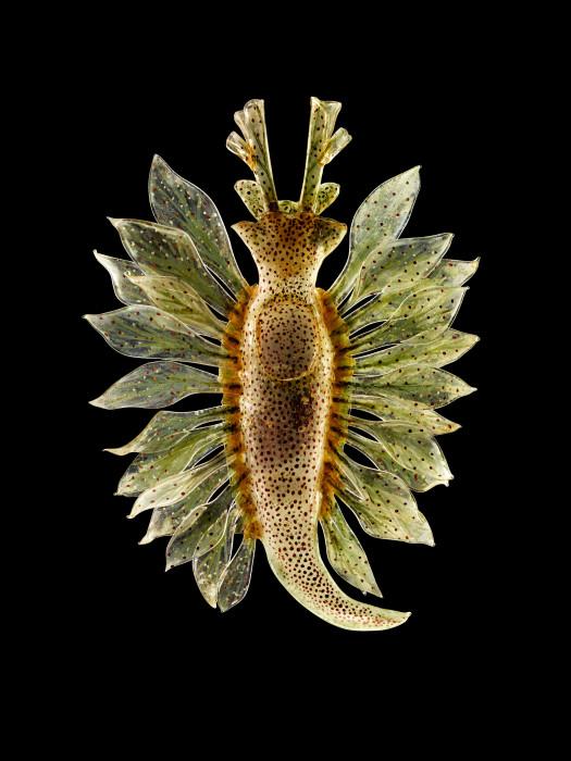 Тип морского слизняка, называемый пятнистым сакоглоссаном (Calophylla mediterranea), предоставлено Музеем естественной истории Ирландии. \ Фото: Guido Mocafico.