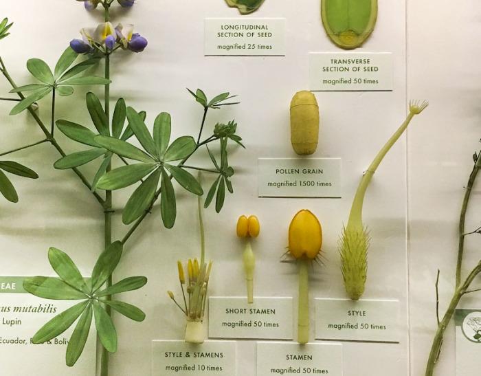 Lupinus mutabilis - стеклянный образец с деталями. \ Фото: photobotanic.com.