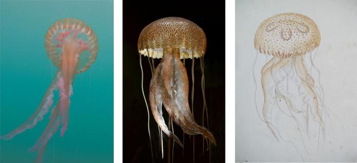 Слева направо: фотография Пелагии (Pelagia noctiluca), медузы, найденной в Средиземном море; стеклянная модель Блашки; акварель Блашки. \ Фотографии: Дрю Харвелла и Музея естественной истории Женевы.