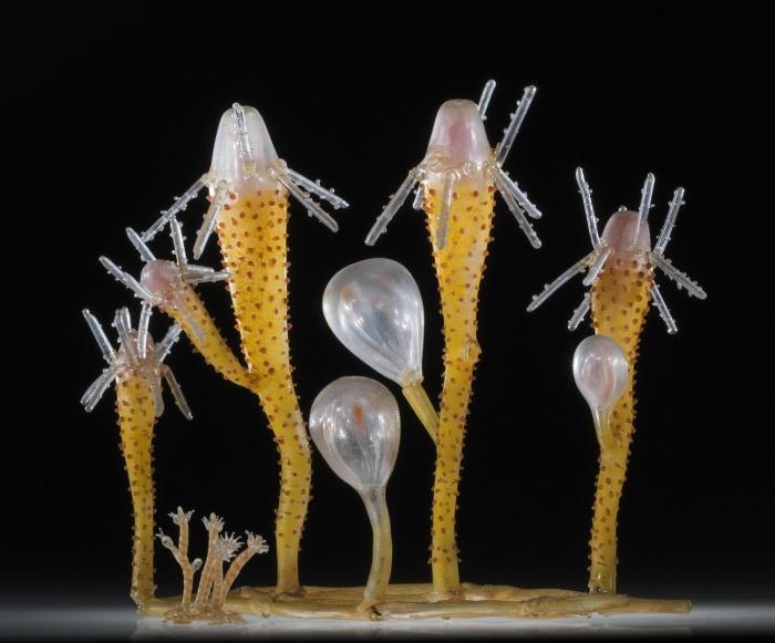 Эта масштабная и увеличенная версия Perigonimus vestitus представлена на выставке хрупкого наследия в Музее стекла Корнинга. \ Фото предоставлено кафедрой экологии и эволюционной биологии Корнельского университета.