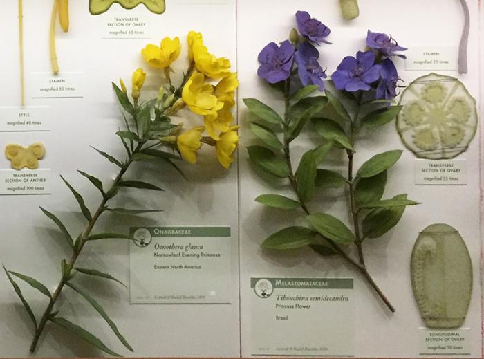 Слева направо: Примула и тибухина, цветок принцессы, образцы стеклянных цветов Леопольда и Рудольфа Блашки, 1890-е годы. \ Фото: lindahall.org.