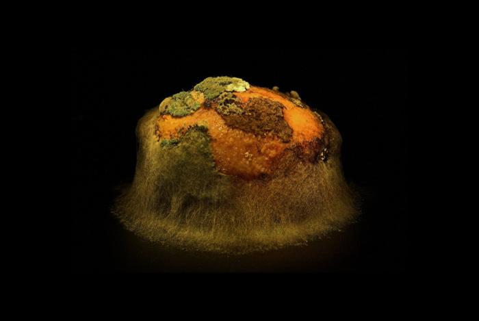 Заплесневелый картофель. Автор фото: Хейкки Лейс (Heikki Leis).