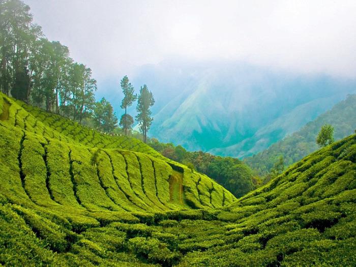 Чайная плантация в Керале. Индия.