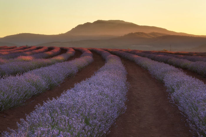 Лавандовое поле в Тасмании, Австралия. Автор: Jack Bolshaw и Marta Kulesza.