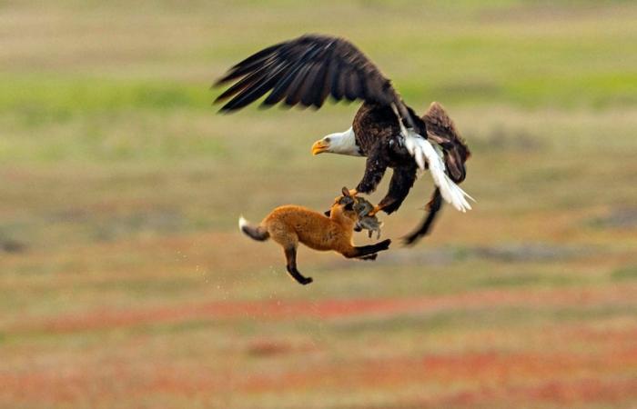 Фотографу посчастливилось снять удивительную историю, как орёл и лиса не поделили зайца. Автор: Kevin Ebi.