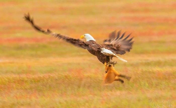 Лиса пытается обобрать свою добычу у орла. Автор: Kevin Ebi.