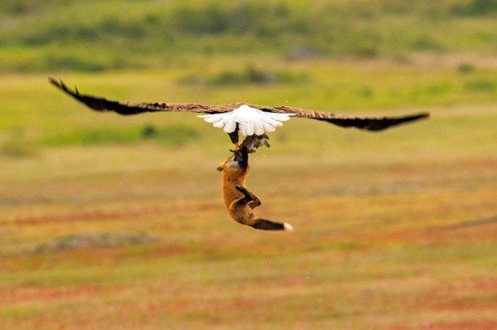 Наглый орёл всё ещё пытается отобрать добычу у лисы, поднимая рыжую в воздух. Автор: Kevin Ebi.