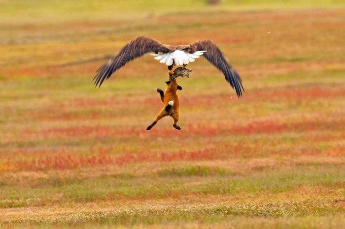 Не теряя надежды, лиса пытается отобрать свою добычу у орла. Автор: Kevin Ebi.