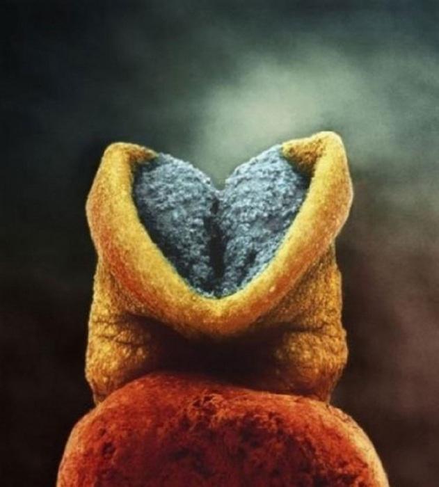 22 день развития эмбриона. Серое вещество — это будущий головной мозг. Автор фото: Леннарт Нильсон (Lennart Nilsson).