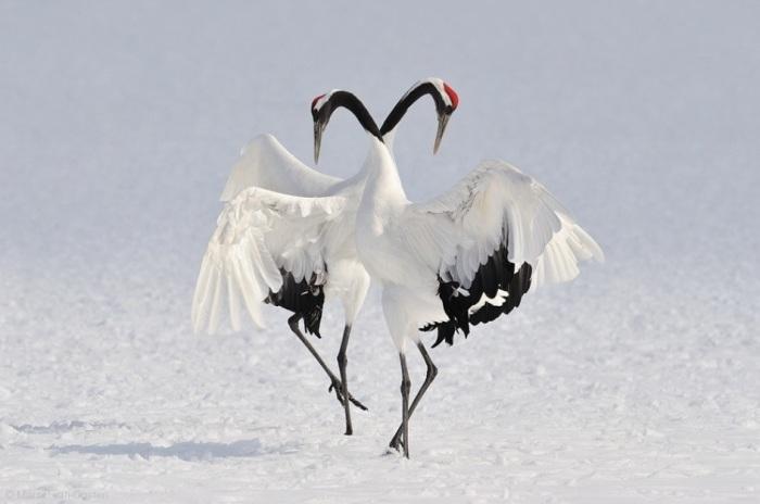 Зимние танцы. Автор: Marsel van Oosten.