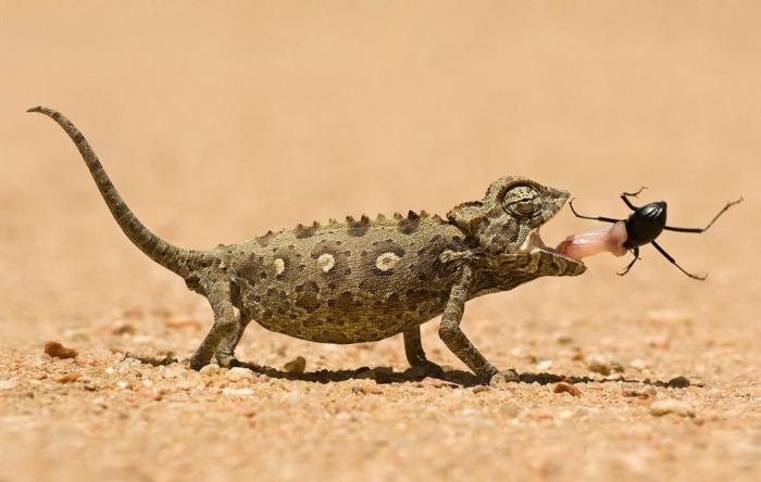 Хамелеон ловит жука в пустыне в Намибии. Автор: Marsel van Oosten.