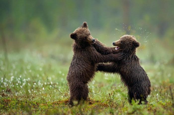 Бурые медвежата сразу после дождя решили побороться. Снимок сделан в Финляндии. Автор: Marsel van Oosten.