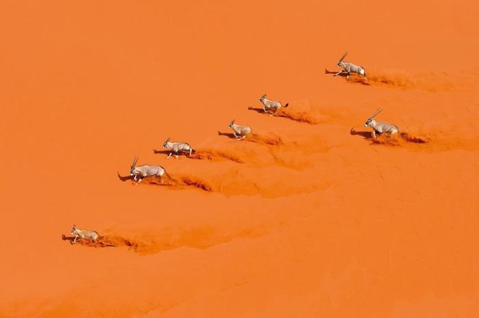 Небольшое стадо газелей бежит через красные песчаные дюны в Национальном парке Namib-Naukluft (Намибия). Автор: Marsel van Oosten.