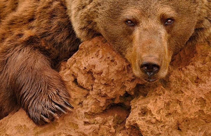 Медведь в неволе — в парке диких зверей в Испании. Автор: Marsel van Oosten.