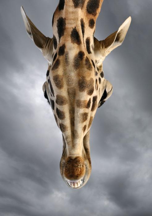 Жираф в зоопарке в Испании. Иногда, чтобы сделать отличный снимок диких животных, вовсе не нужно ехать в Африку. Автор: Marsel van Oosten.