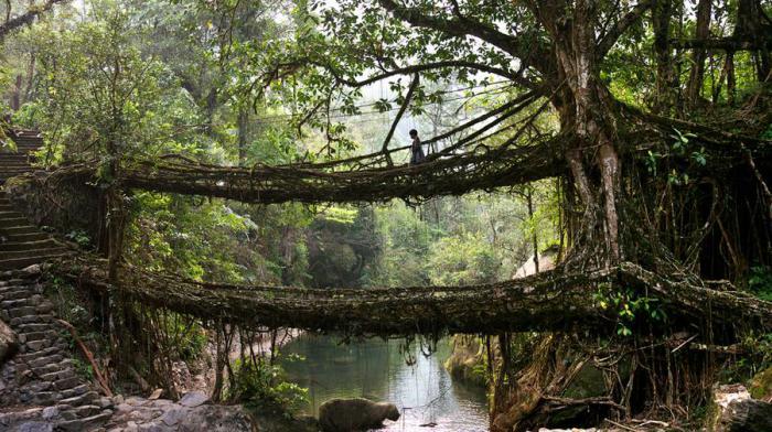 Живые мосты. Мегхалая, Индия.