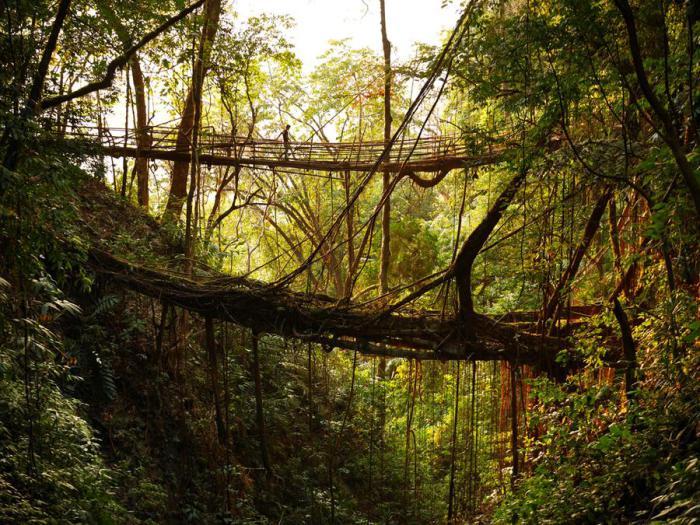 Из-за обильной влажности корни и ветви деревьев сплетаются в арки и мосты. Мегхалая, Индия.
