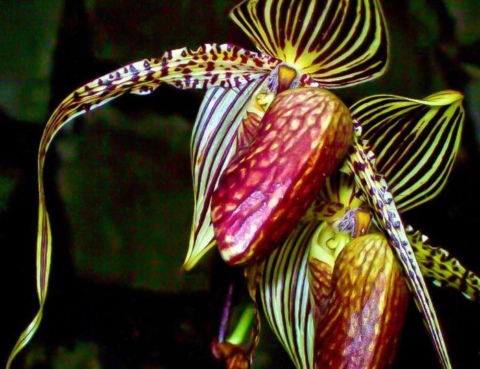Одна из самых дорогих орхидей в мире. | Фото: specialflowersintheworld.blogspot.com.