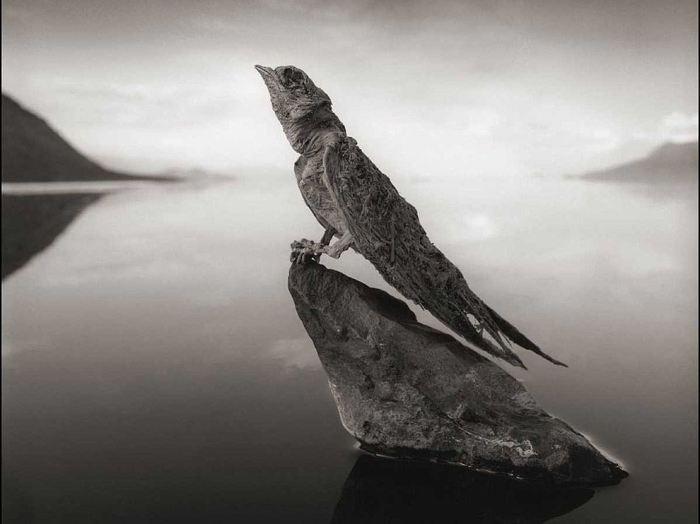 Кальцинированная ласточка, озеро Натрон. Автор: Nick Brandt.