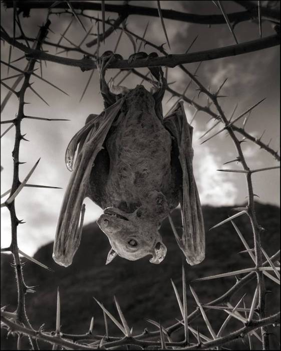 Кальцинированная летучая мышь, озеро Натрон. Автор: Nick Brandt.
