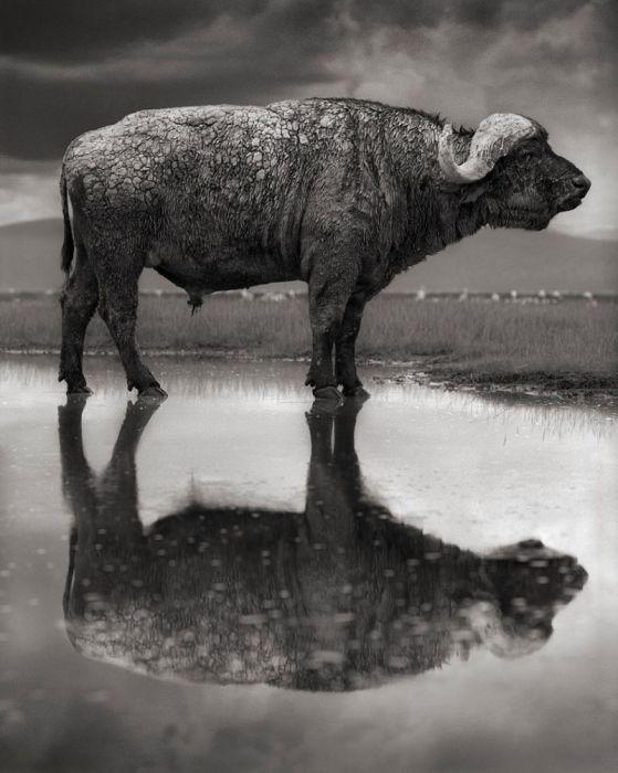 Кальцинированный буйвол, озеро Натрон. Автор: Nick Brandt.