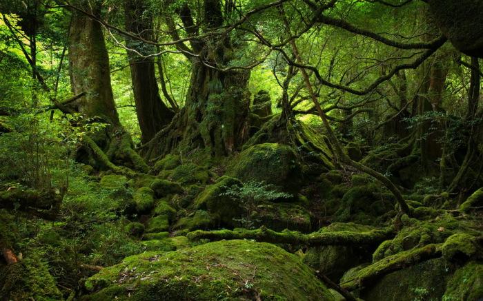 Древние деревья на острове Якушима.