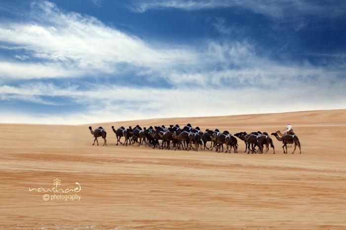 Караван верблюдов. Автор фото: Noushad GD.