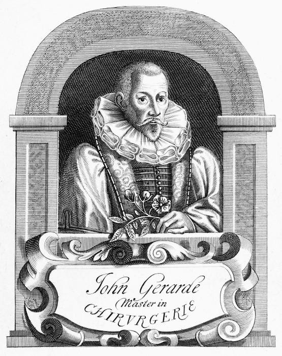 Джон Джерард,  линейная гравюра, 1633 год. \ Фото: wellcomecollection.org.
