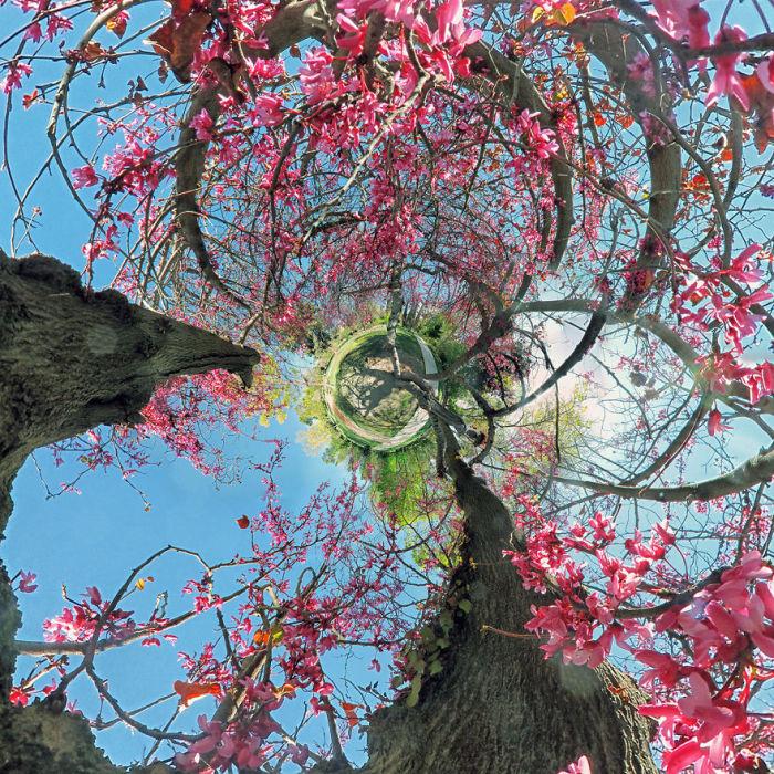 Cercis in Eram Garden. Автор фото: Ramin Rahmani Nejad.
