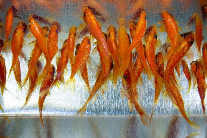 Золотые рыбки. Потрясающие трёхмерные рисунки от японского художника Рюсуке Фукахори (Riusuke Fukahori).