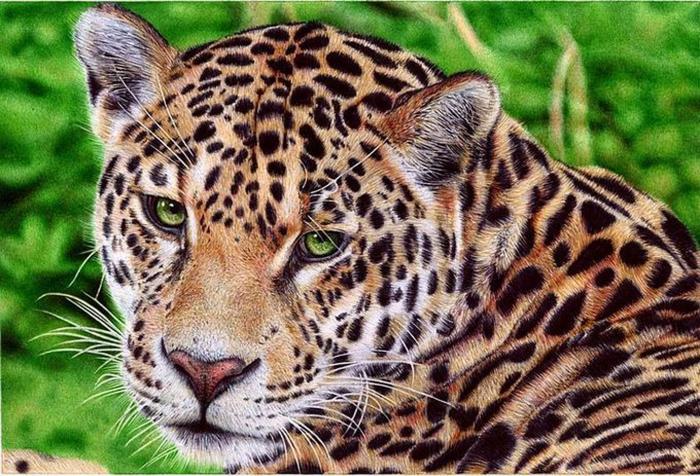 Леопард. Автор: Samuel Silva.