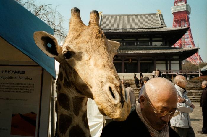 По улицам жираф ходил, как видно, напоказ. Автор: Shin Noguchi.