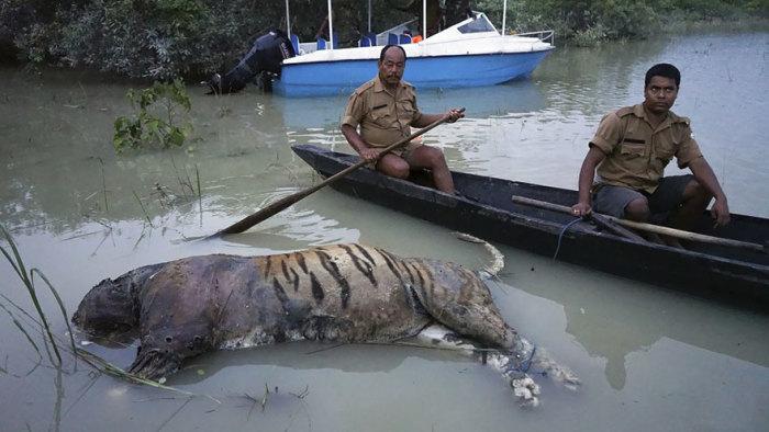 Спасатели собирают трупы животных, после того как наводнение настигло заповедник Казиранга. Погибло более 225 животных.