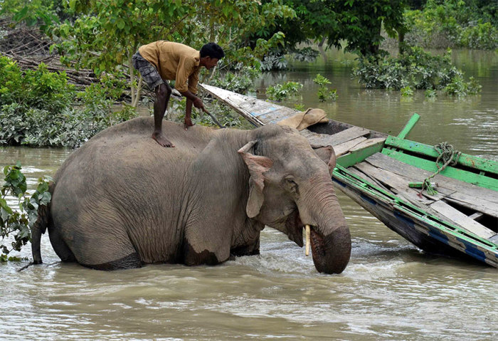 Махаут (погонщик слонов) купает своего слона на территории затопленного заповедника Казиранга. Автор: Anuwar Hazarika.