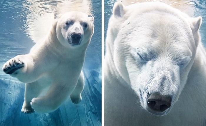 Белый медведь. Автор: Tim Flach.