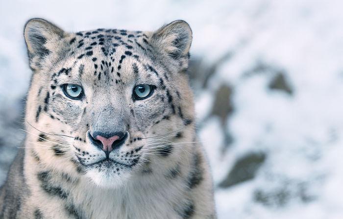 Снежный барс. Автор: Tim Flach.