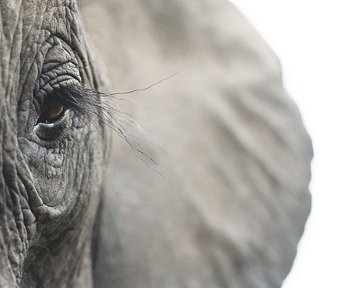Африканский слон. Автор: Tim Flach.