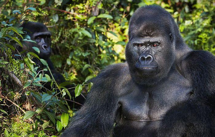 Западная горилла. Автор: Tim Flach.
