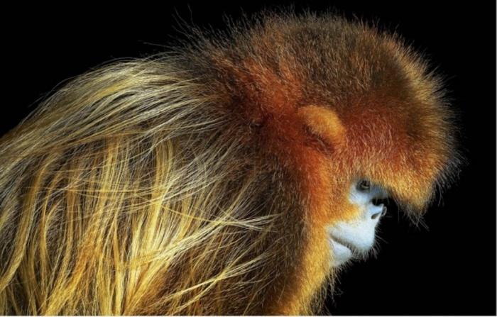 Золотая обезьяна. Автор: Tim Flach.