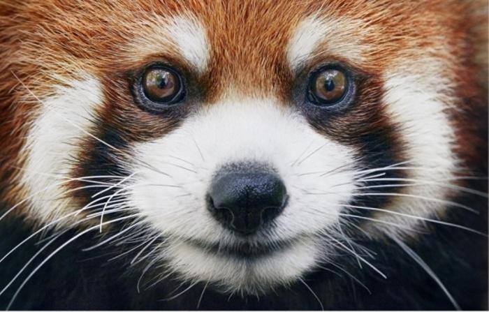 Красная панда. Автор: Tim Flach.